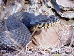Where To Find Snakes In Your Backyard 21 Best Identifying Snakes Of North Carolina Images On Pinterest