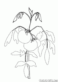 coloring page tomato on the garden bed