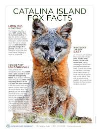 catalina island fox infographic by mecoy communications issuu