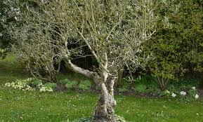 arbuste feuillage pourpre persistant arbres et arbustes décoratifs comment les choisir