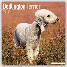 bedlington terrier guide bedlington terrier calendar 2017 dog breed calendars 2016