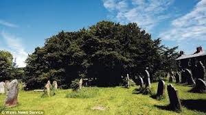 britain s oldest tree is discovered in a churchyard and