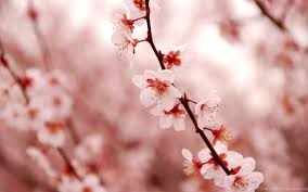 blossom beauty spring desktop wallpapers 1524572