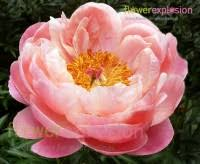 wholesale peonies cheap peonies for sale wholesale peony flowers bulk peonies