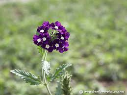 verbena flower verbena flowers click the above thumbnail to view large images