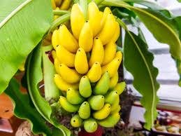 dwarf improved meyer lemon tree u2022 koolau farmers