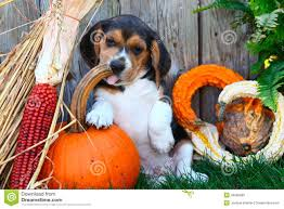 autumn decorations beagle puppy sitting with a pumpkin gourds and other autumn