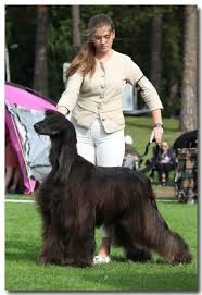 afghan hound judging list news 2016