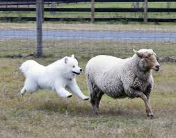 standard american eskimo dog vs samoyed 10 things you probably didn u0027t know about the smiling samoyed dog