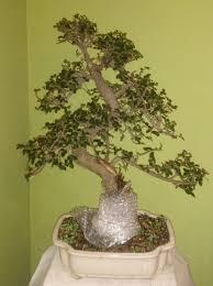 bonsai progression japanese elm fixing reverse taper