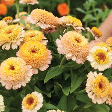 Zinnia Flowers Zinderella Peach Zinnia Seed Johnny U0027s Selected Seeds