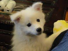 american eskimo dog black this is my american eskimo puppy he was only a few weeks old he