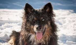 belgian sheepdog poodle mix meet huckle the finnish lapphund mix on pack