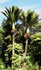 native plants of nz plantfiles pictures shaving brush palm nikau palm rhopalostylis