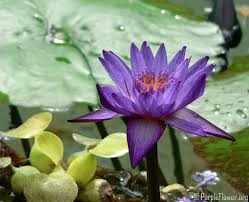 Lotus Flower In Muddy Water - purple lotus spiritual rare and an endless beauty