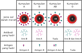 Serum Tes Golongan Darah jenis darah bahasa melayu ensiklopedia bebas