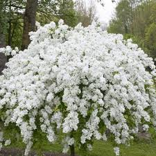 245 best shrubs and bushes images on gardening