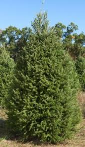 wholesale balled burlapped trees brown s tree farm