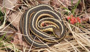 How To Find Snakes In Your Backyard Snakes In Vermont