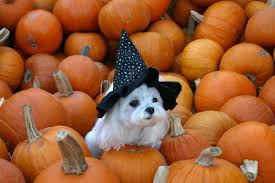halloween safety tips for pets truth4dogs