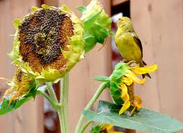 harvesting sunflowers how to harvest sunflower seeds