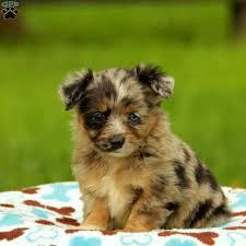 australian shepherd mini puppy gabbs australian shepherd miniature puppy for sale in pennsylvania