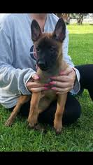 belgian malinois puppies for sale 2016 view ad belgian malinois puppy for sale florida miami usa