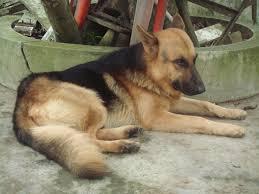 belgian sheepdog malinois free images animal canine pet sleeping small hound laying