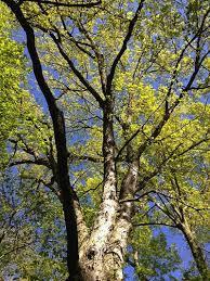 Maple Tree Symbolism by Omeka Ctl Uvm Tree Profiles White Oak White Oak Symbols And