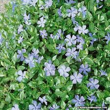 vinca flowers vinca minor periwinkle american