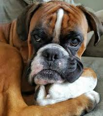 boxer dog funny boxer dog funny face momments follow us to see more boxer dog