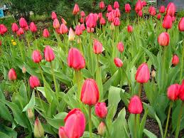 www flowers http www flowers gardens net pictures blooming habits tulips 2