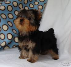 tea cup yorkie hair cuts yorkie puppy cut images pictures wallpaper with high quality for