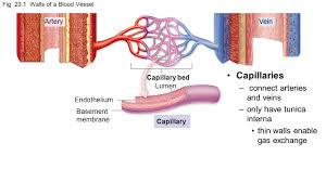 co 23 chapter 23 vessels and circulation arteries travel away