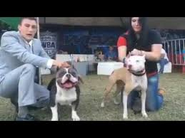 american pit bull terrier bully american bully vs pitbull real difference youtube