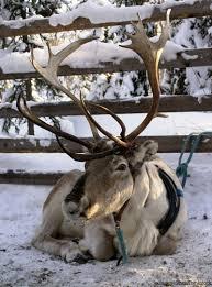 raise real reindeer hobby farms