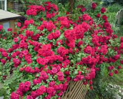 amadeus rose climber google search climbing roses pinterest