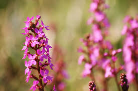 queensland native plants stylidium wikipedia