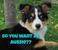 owning a australian shepherd things you should know before getting an australian shepherd