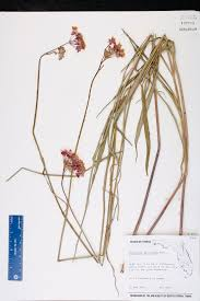 218 best native plants images asclepias lanceolata species page isb atlas of florida plants