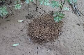 Types Of Garden Mulch Making U0027mulch U0027 Ado Of Ant Hills Ant Hill Mulch Improves Soil Moisture