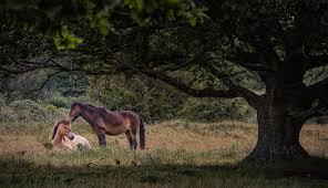 horses resting near oak tree stan schaap photography