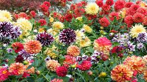 dahlias flowers dahlias flowers of every color background hd 963 wallpapers13