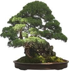 bonsai tree plant potted free image on pixabay