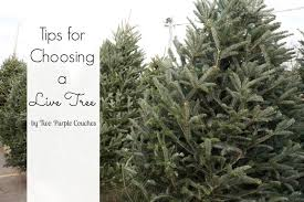 tips for choosing a live christmas tree two purple couches