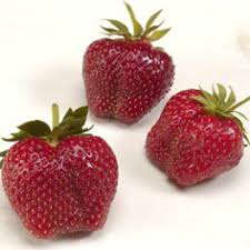 strawberry plants best selection and highest quality at nourse