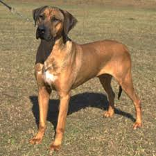 american pitbull terrier rhodesian ridgeback mix hound dog breed group american kennel club