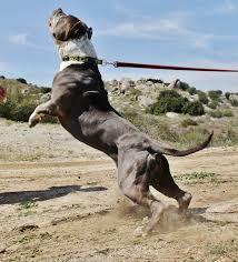 american pitbull terrier jumping boyds judge pitpedia