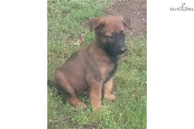 belgian shepherd lakenois hunni belgian shepherd malinois puppy for sale near little rock
