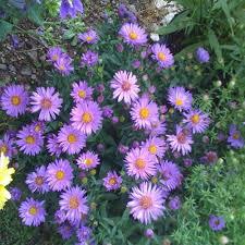 purple perennials garden plants u0026 flowers the home depot